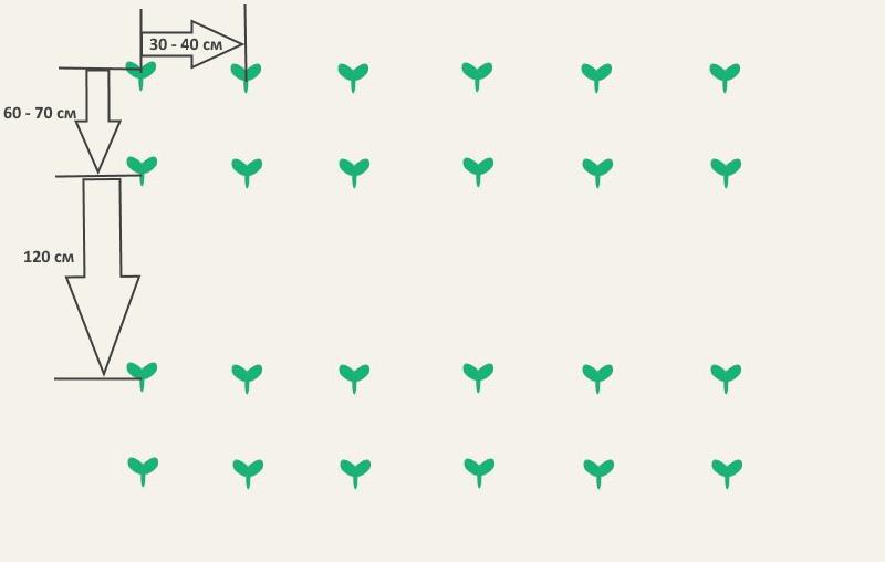Особенности посадки кабачков