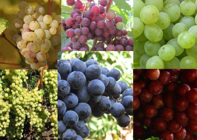 Мускат благородный* — виноград