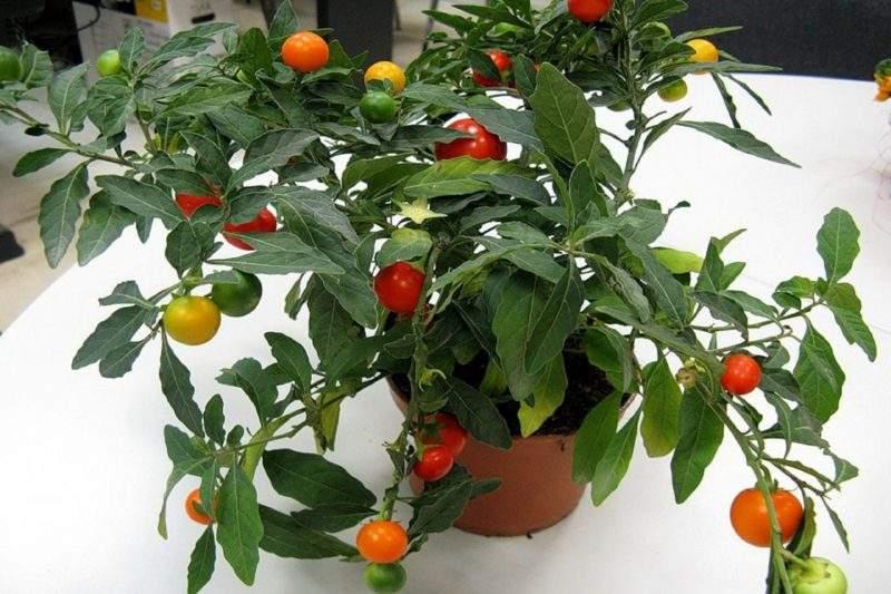 Solanum. паслен комнатный – уход, фото, размножение. паслен домашний: ложноперечный