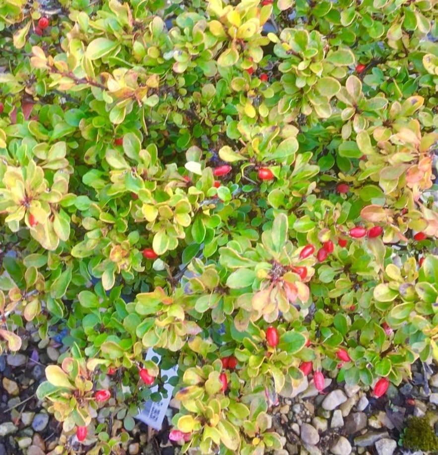 Барбарис: размножение черенками весной и летом, описание (фото)