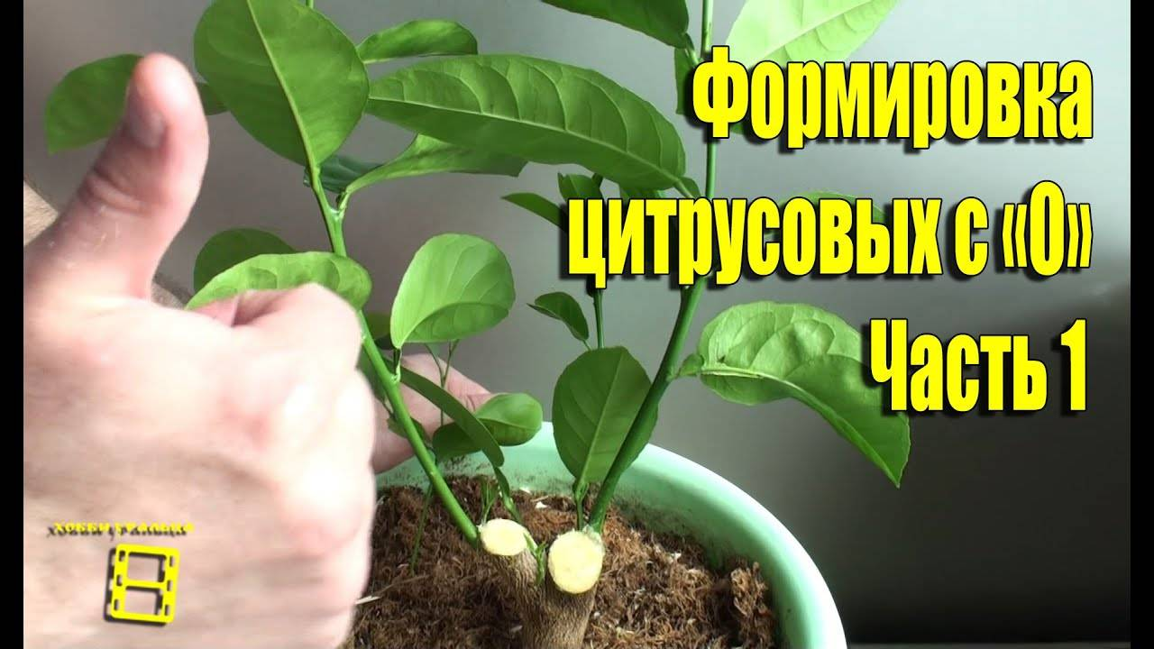Как привить лимон в домашних условиях: пошаговая инструкция, фото