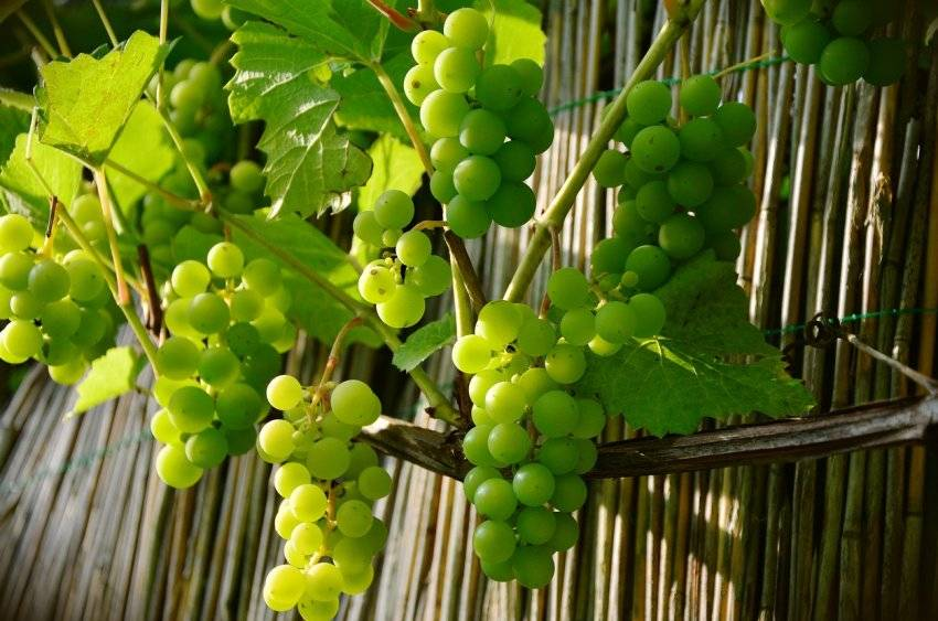 Польза и вред зеленого винограда, винограда кишмиш: свойства белого винограда