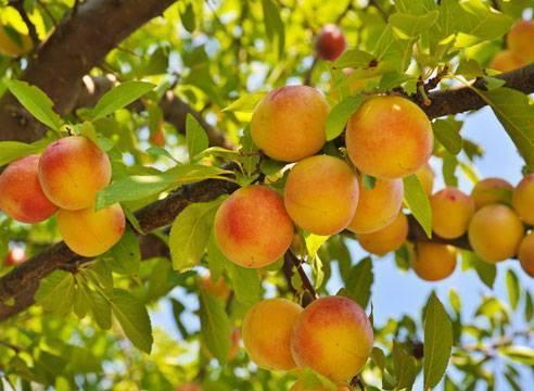 Лучшие сорта персика для россии: названия с фото и описанием