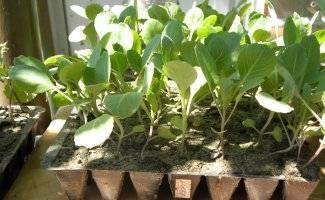 Рассада капусты: выращивание в домашних условиях
