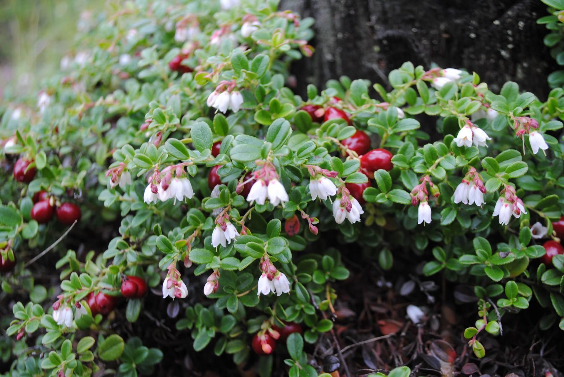 Брусника садовая: посадка, выращивание и уход за посадками
