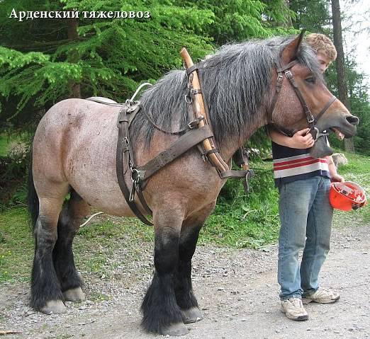 Арденская лошадь: описание, история, характер и интересные факты о крупной и нежной породе | огородники