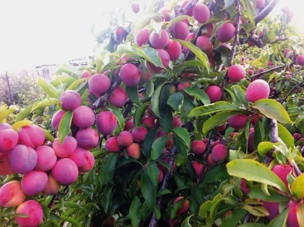 Слива скороплодная описание сорта фото плодов
