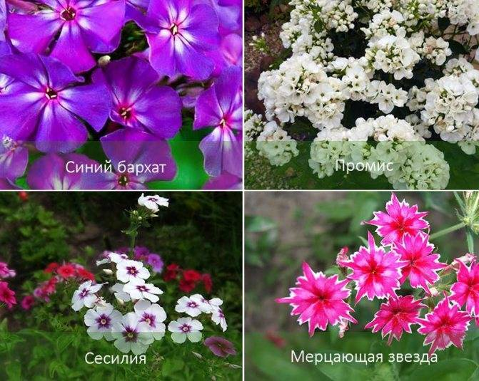 Роскошный флокс друммонда: выращивание из семян, посадка и уход, фото