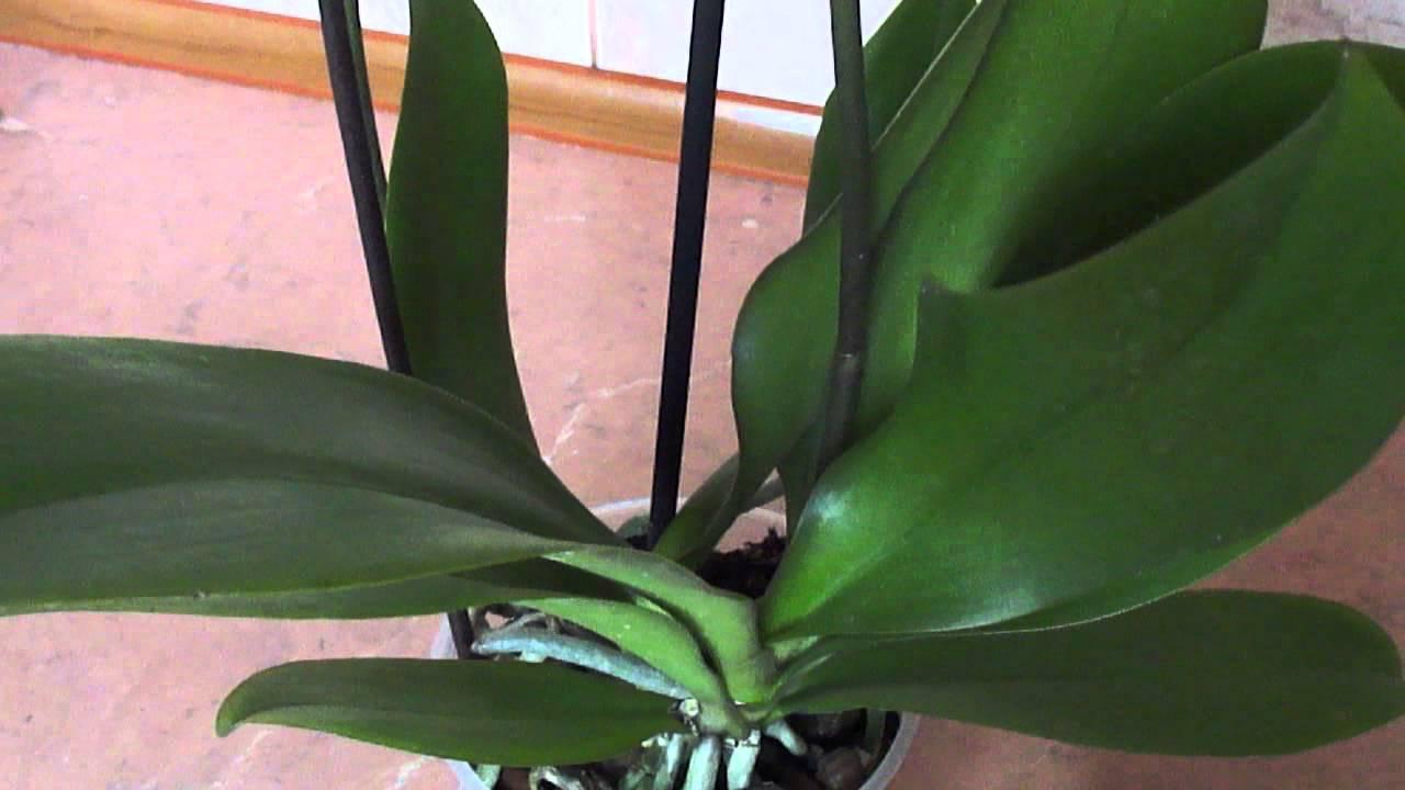 Как ухаживать, если орхидея выпустила цветонос, и что делать, если его нет?