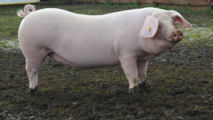 Крупная белая порода свиней: характеристика и особенности