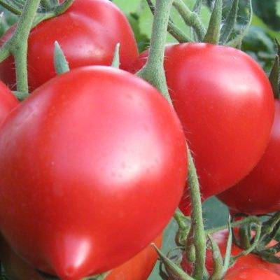"""Томат """"юбилейный тарасенко"""": описание сорта, фото, отзывы - советы для огородников, цветоводов, садоводов"""