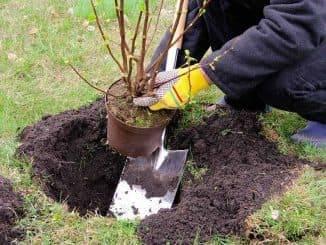 Посадка смородины осенью: как правильно посадить