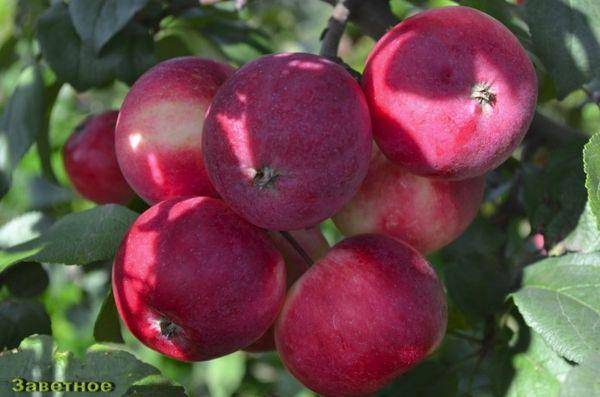 """Сорт яблони """"заветное"""": описание, выращивание и уход"""