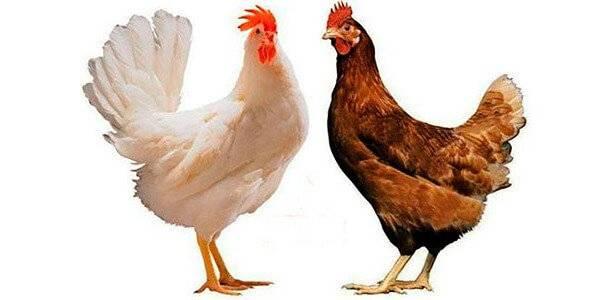Лучшие мясояичные породы кур: какую выбрать для домашнего разведения?