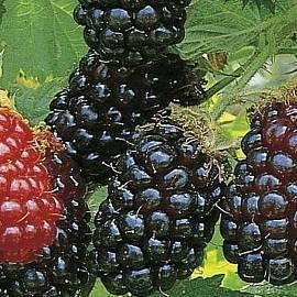 Ежевика гигант: описание сорта с характеристикой и отзывами, особенности посадки и выращивания и ухода, фото