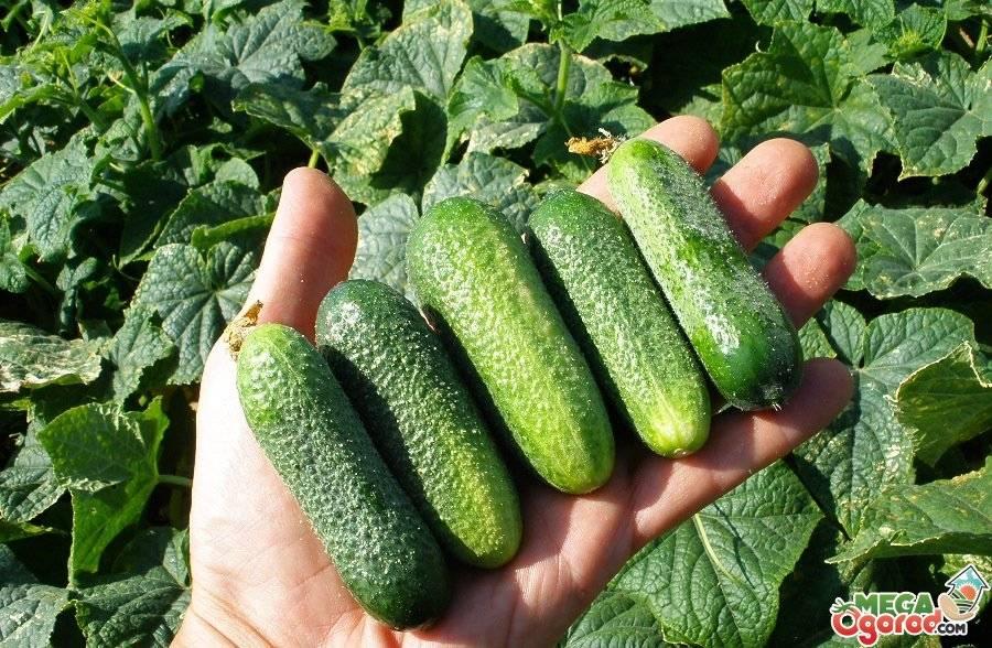 Тыква – это овощ, фрукт или ягода — selok.info