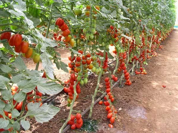 Как формировать томаты - схема формирования помидор в 1,2,3 стебля
