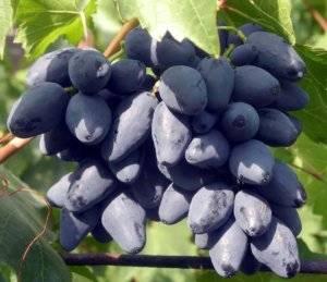 Сорт винограда ромбик: особенности ухода, характеристики плодов, достоинства и недостатки сорта