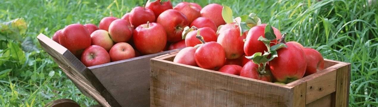 Правила хранения яблок в домашних условиях на зиму