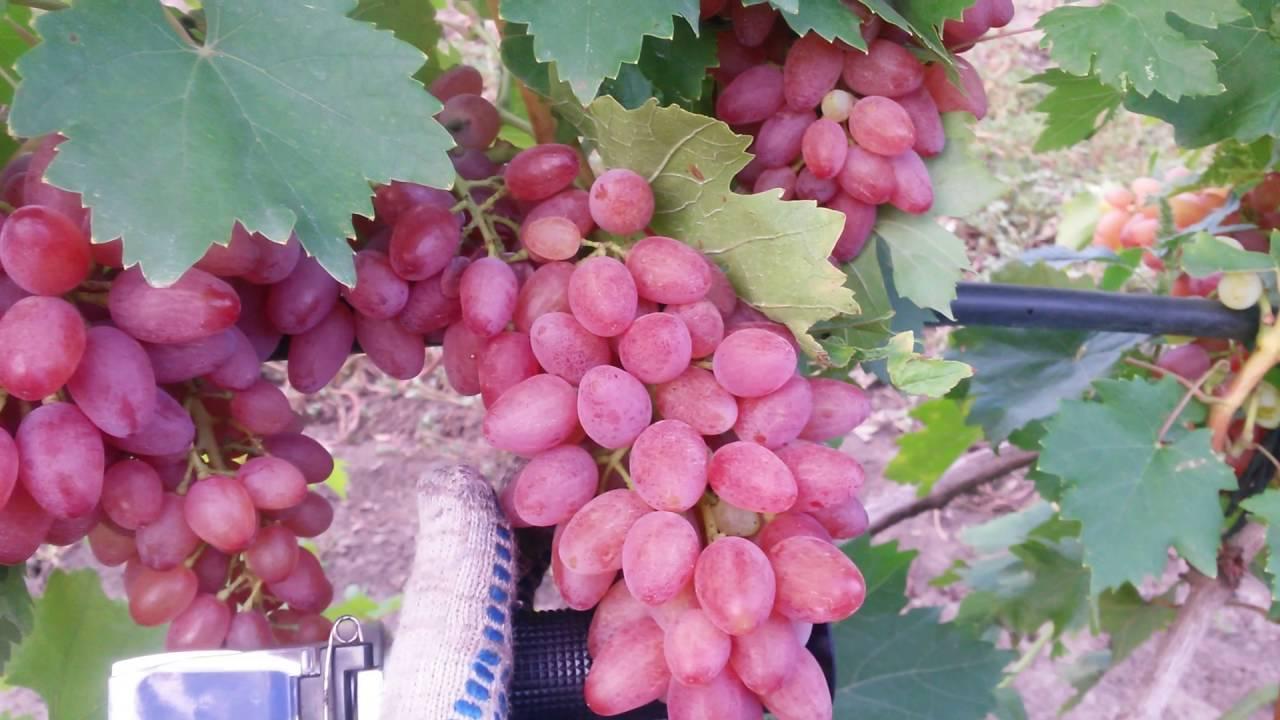 Виноград кишмиш: преимущества и недостатки, описание лучших кишмишных сортов, где растет, как выглядит, когда созревает