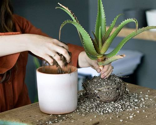 Выращивание алоэ вера в домашних условиях и открытом грунте: как размножить листьями, вырастить из семян, можно ли посадить без корня? selo.guru — интернет портал о сельском хозяйстве