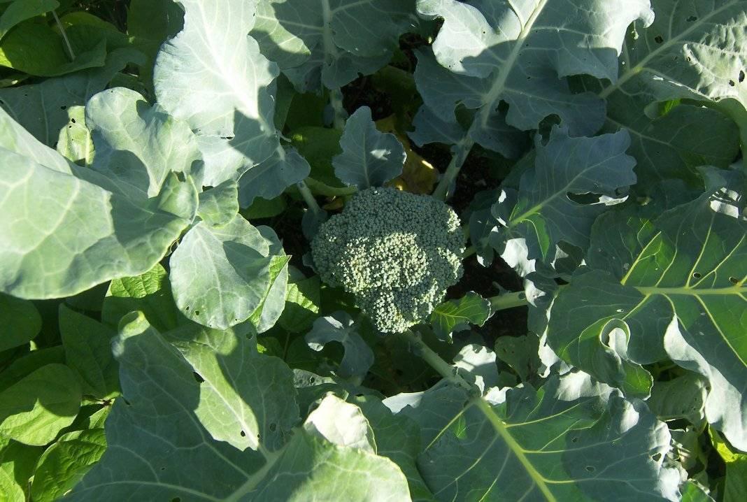Как посадить и вырастить брокколи в открытом грунте