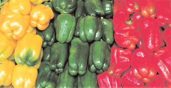 Ранние сорта сладкого перца с описанием, характеристикой и отзывами, а также особенности их выращивания