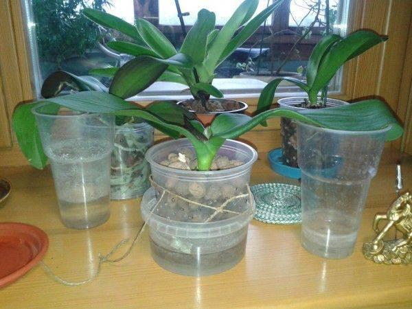 Как нарастить корни у орхидеи фаленопсис: видео о способах над водой и в воде, а также других быстрых методах