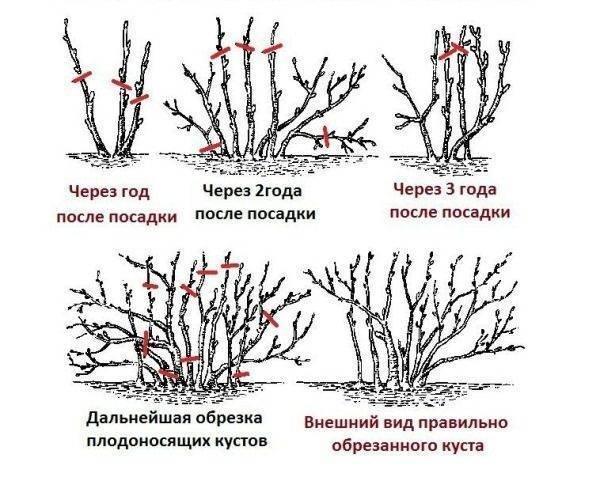Посадка смородины, когда и как посадить - осенью или весной, преимущества осенней пересадки,  когда начинает плодоносить черная и красная смородина