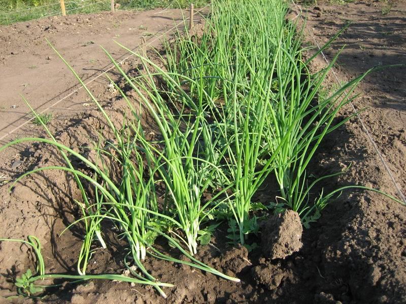 Выращивание лука из семян за один сезон через рассаду: пошаговая инструкция, когда сажать и как вырастить в домашних условиях