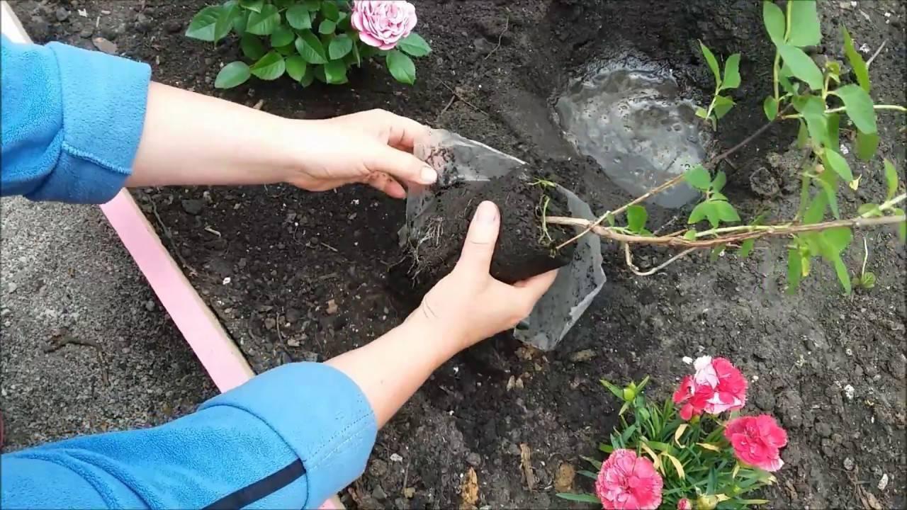 Жасмин садовый посадка и уход фото размножение