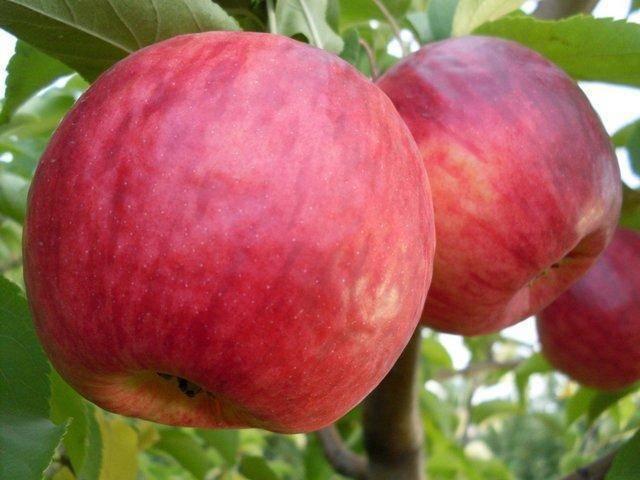 Описание сорта яблони жигулевское: фото яблок, важные характеристики, урожайность с дерева