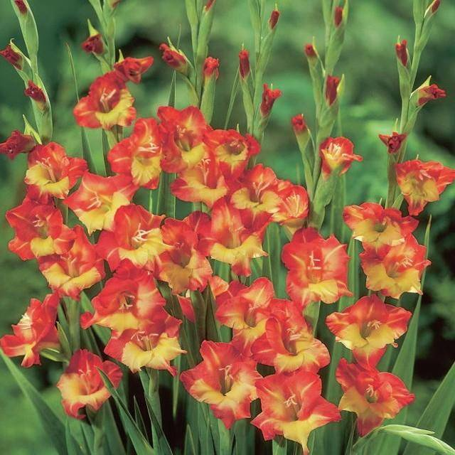Гладиолусы в горшках: фото, посадка и уход за цветком на улице и дома, как вырастить на балконе