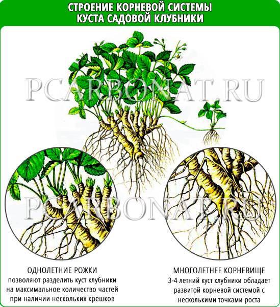 Размножение безусой клубники: как размножить ремонтантную землянику