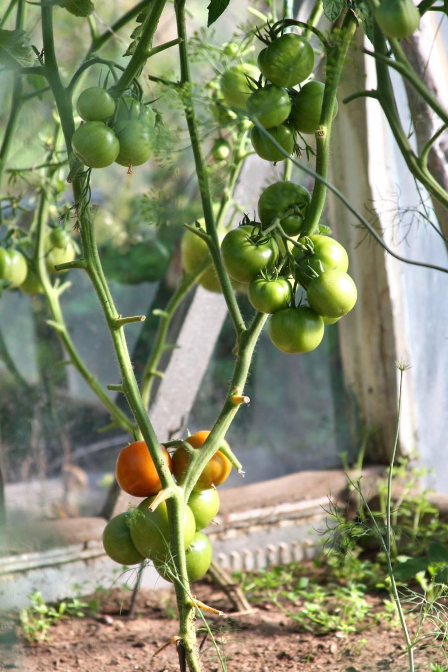 Как защитить помидоры от фитофторы в теплице, народные средства видео