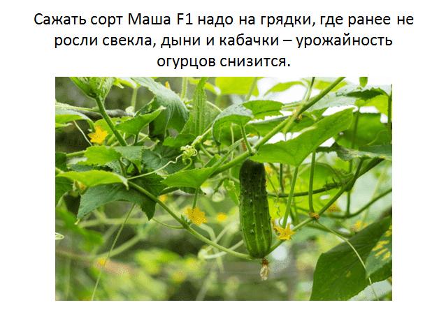 Характеристика огурцов сорта Засолочный