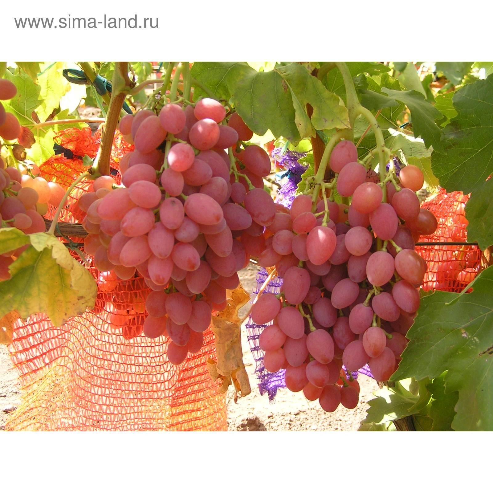 """Виноград """"кишмиш лучистый"""": фото и описание сорта, характеристики и вкусовые качества selo.guru — интернет портал о сельском хозяйстве"""