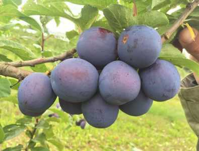 Яичная синяя: характеристики сорта и особенности выращивания