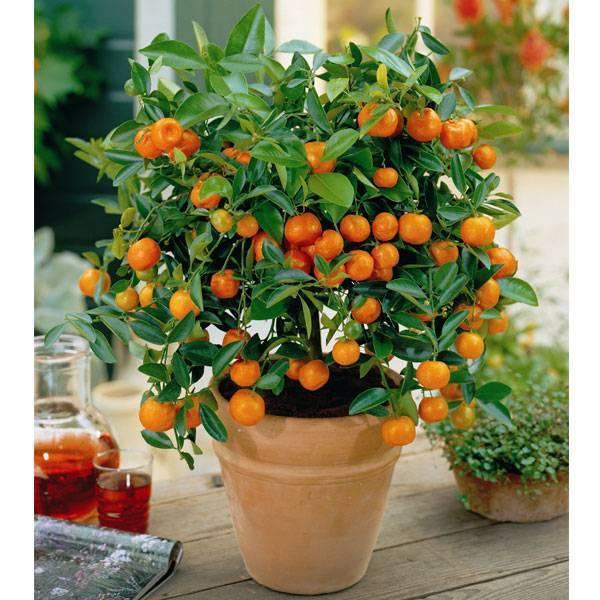 Апельсиновое домашнее дерево: выращивание в горшке