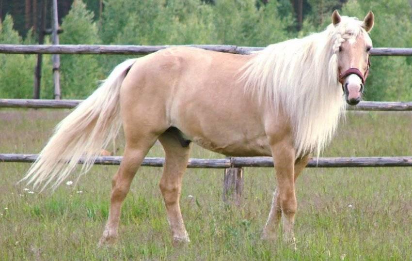 Лошади башкирской породы: характеристика, достоинства и недостатки