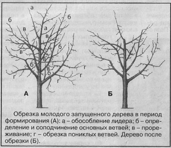 Как сформировать крону яблони от высадки до плодоношения: схема, видео