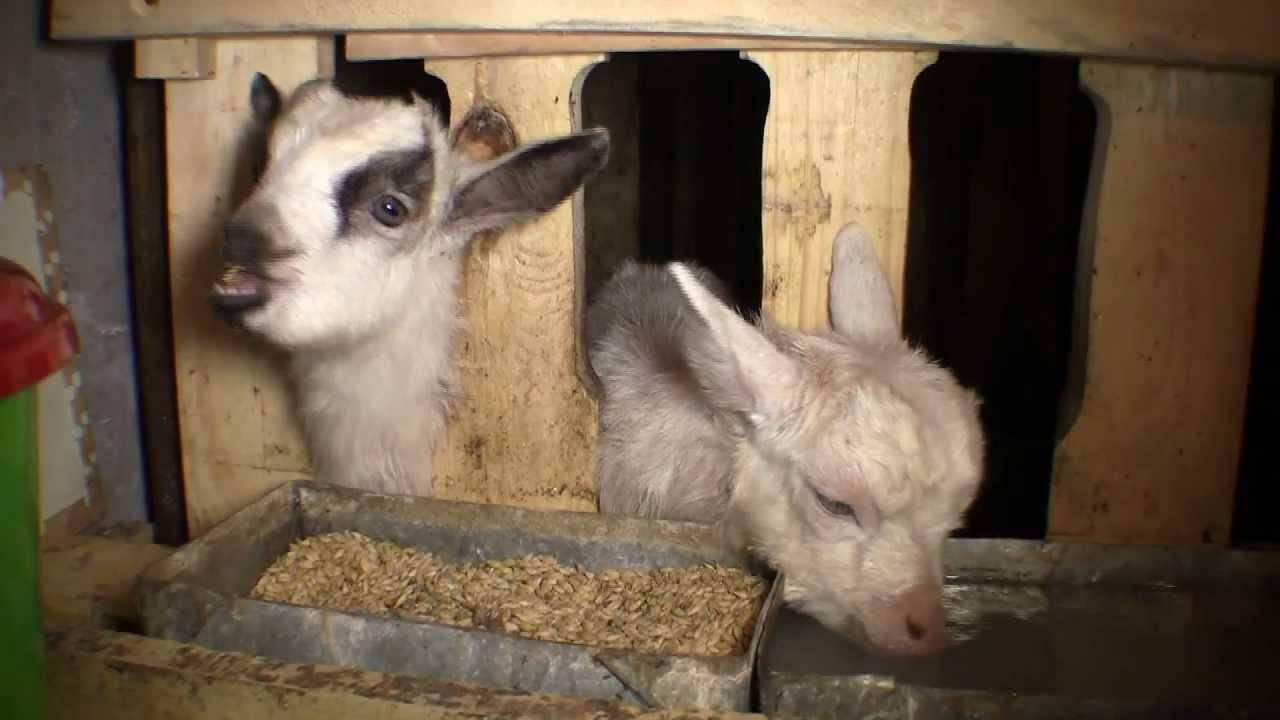 Сарай для коз и как построить его своими руками
