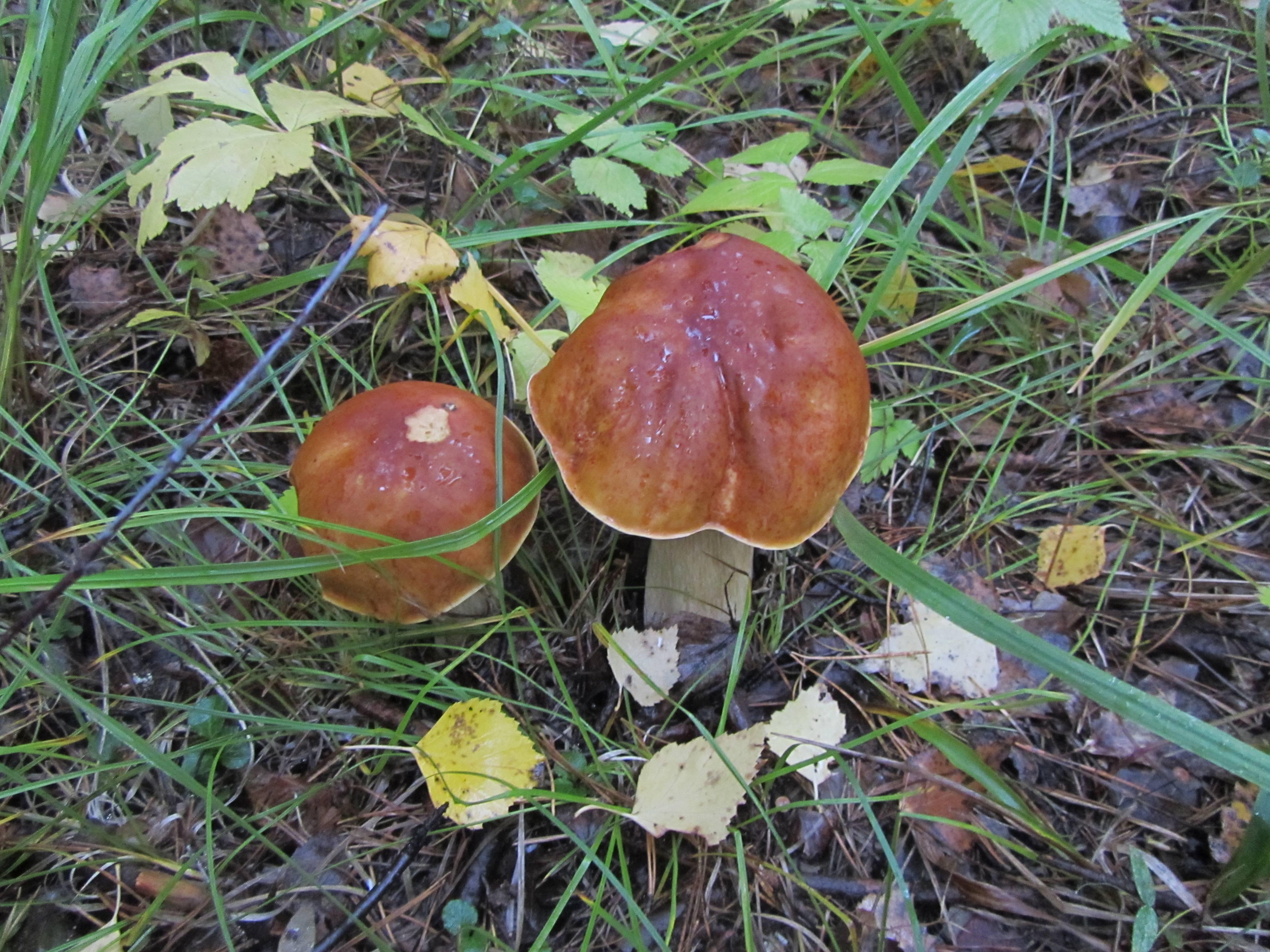 Выращивание грибов на даче и в огороде: условия для посадки и уход