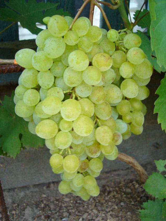 Виноград кишмиш запорожский: особенности сорта
