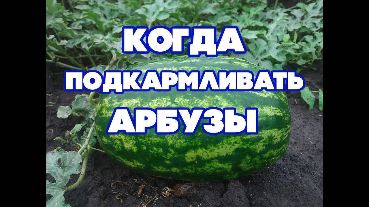 Чем подкормить арбузы после высадки в открытом грунте, чем удобрять для роста плодов, подкормка покупными удобрениями и народными средствами