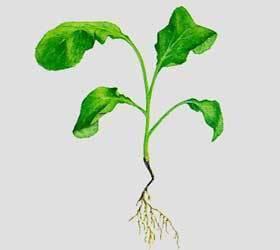 Черная ножка у капусты: причины и что делать при заражении