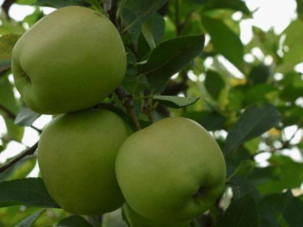 Зелёные яблоки для похудения: польза или вред