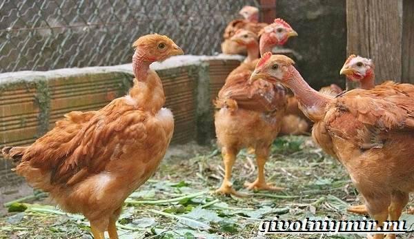 Голошейка — курица, похожая на индюка