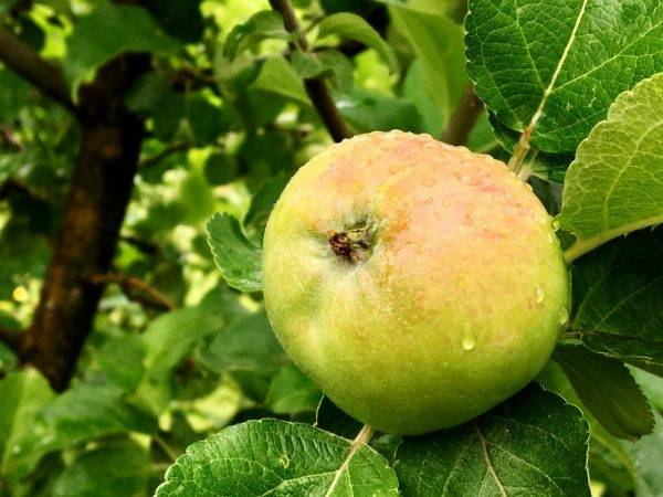 Мартовская яблоня: описание, урожайность, отзывы - новости, статьи и обзоры