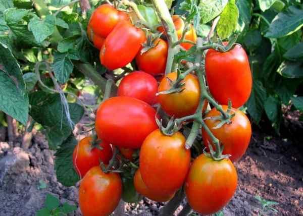 Сорт помидор засолочное чудо отзывы и фото